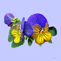 Small Yellow and Purple Pansies