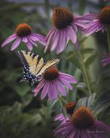 Swallowtail on Cone Flowers
