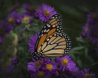 Monarch on Mums