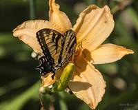 Swallowtail on Day Lily