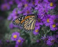 Monarch on Mums 2