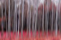 Red Forest In Motion