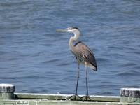 A Heron in North Beach