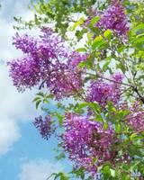 Lilacs on a Sunny Day