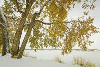 Golden Snowy Cottonwood
