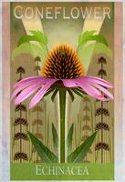 Coneflower Botanical