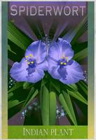 Spiderwort Botanical