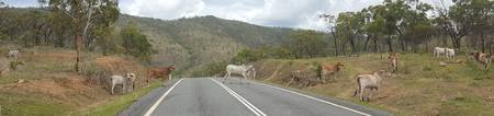 Grazing Cattle Crossing Country Road Australia