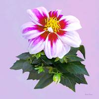 Two-Toned Pink Dahlia