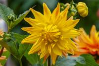 Amber-colored Dahlia