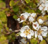Bartlett Pear Blossoms & Bee