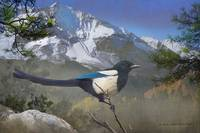 early morning mountain magpie