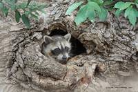 nice hole in trunk raccoon