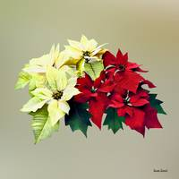 Bouquet of Red and Yellow Poinsettia