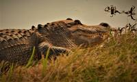 Gator of Hilton Head Island 03
