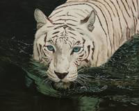 Original oil painting white tiger in water