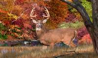 Whitetail Deer - Autumn Majesty