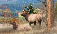 Return of the Elk