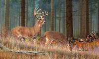 Whitetail Deer - The Guardian