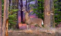 Northwoods Whitetails