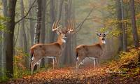 Whitetail Deer - Morningside
