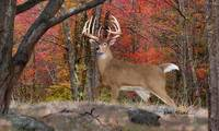 Whitetail Deer - Rambo