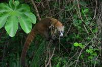 Coati on a branch