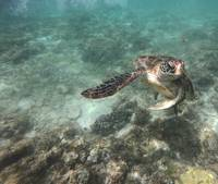 Swimming turtle in the sea