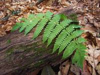 Fern Frond on Log 2