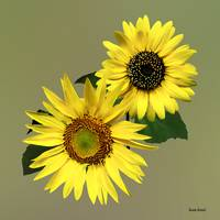Two Sunflowers, The Same Yet Different