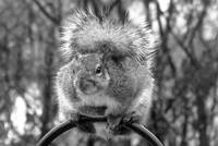 Squirrel in Black & White