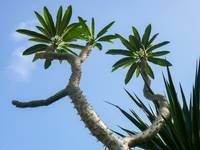 Spiny Tropical Tree With Blue Sky in Puerto Rico