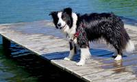 Border Collie on Dock