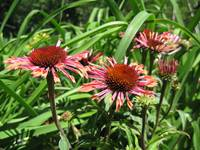 Purple Cone Flower - Echinacea purpurea