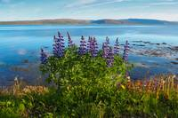 Lupins by the Fjord