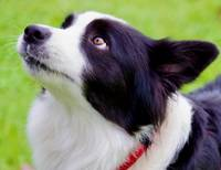 Border Collie Gaze