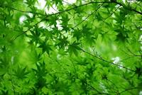 Fresh green maple. A tree in a park and in a grove