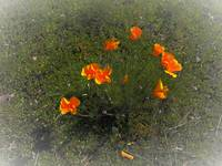 California Golden Poppies_4036400