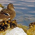 """Mallard Duck Family"" by kphotos"