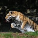 """Tatiana, Siberian Tiger"" by tylerwestcott"