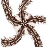 """Brittle Starfish Sepia"" by DennisMash"
