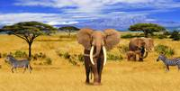 Panorama. Elephant Animals of Africa
