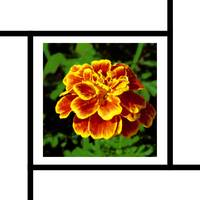 Golden Marigold flower with lines