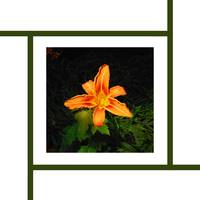 Asiatic Lily #2