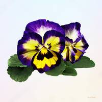 Yellow Purple and White Pansies