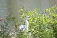 Egret in Forest Park 2020 I