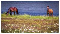 Horses of Margaree Harbor