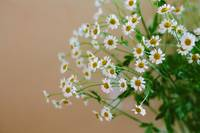 Chamomile Floral Bouquet on Beige Background