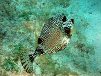 spotted fish