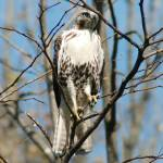 """""""Sharp Shinned Hawk"""" by parexcellance"""